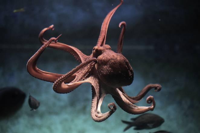 octopus-brain.jpg.662x0_q70_crop-scale.jpg